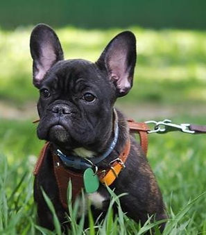 Black French Bulldog on grass.jpg