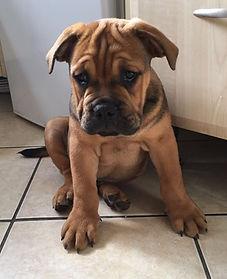 Bulldog puppy sitting down