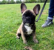 Louie%20French%20Bulldog_edited.jpg