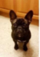 Black French Bulldog on carpet