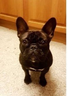 Black French Bulldog on carpet