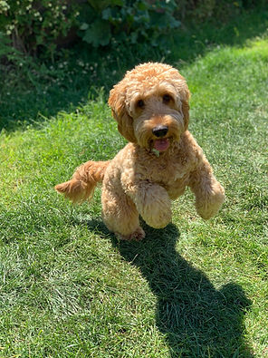 Cockapoo in field demonstrating Separation Anxiety Test