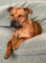 Rescue Dog, Staffordshire Bull Terrier sitting on the sofa