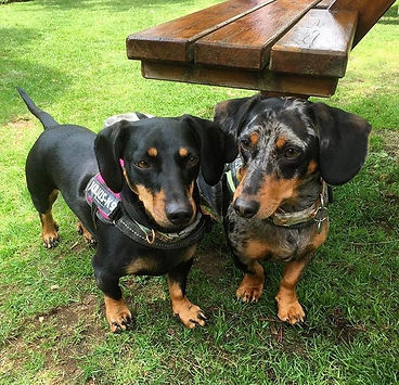 Two dachshund dogs on grass - lead aggression
