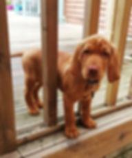 vizsla puppy.jpg
