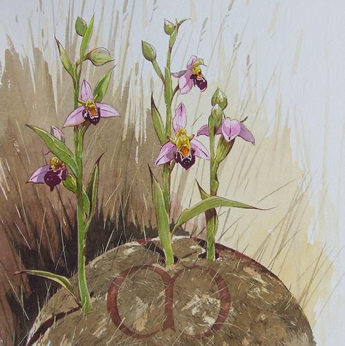 Bee Orchid.jpg