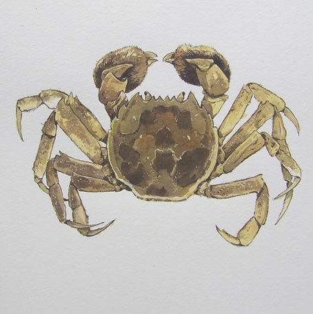 w Chinese Mitten Crab.jpg
