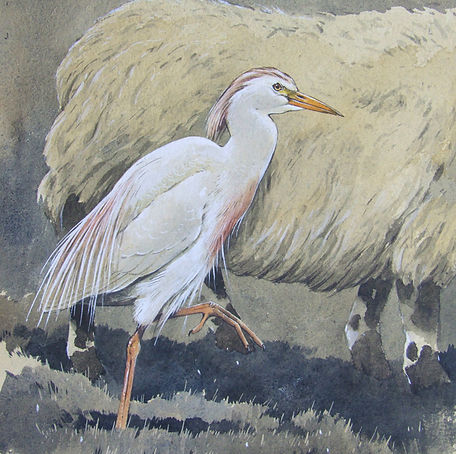 w Cattle Egret.jpg