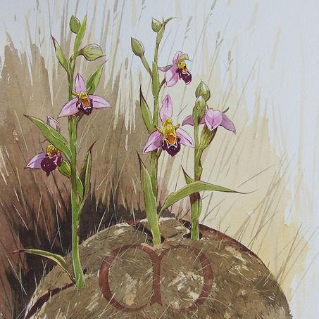w Bee Orchid.jpg