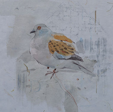 Turtle Dove 1 Yarls Wood.jpg