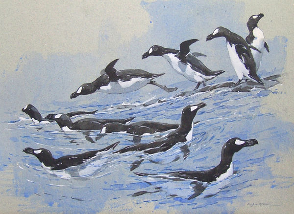 Great Auk field Studies.jpg