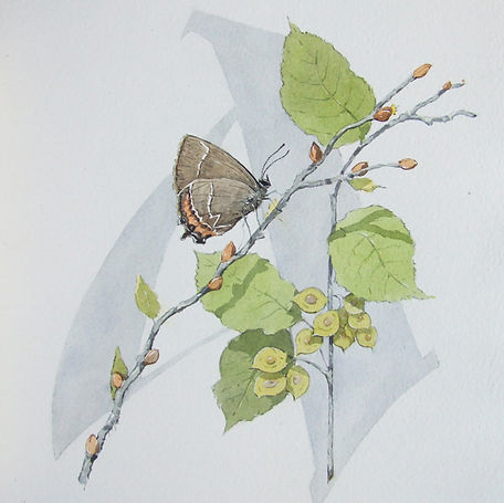 web White Letter Hairstreak.jpg