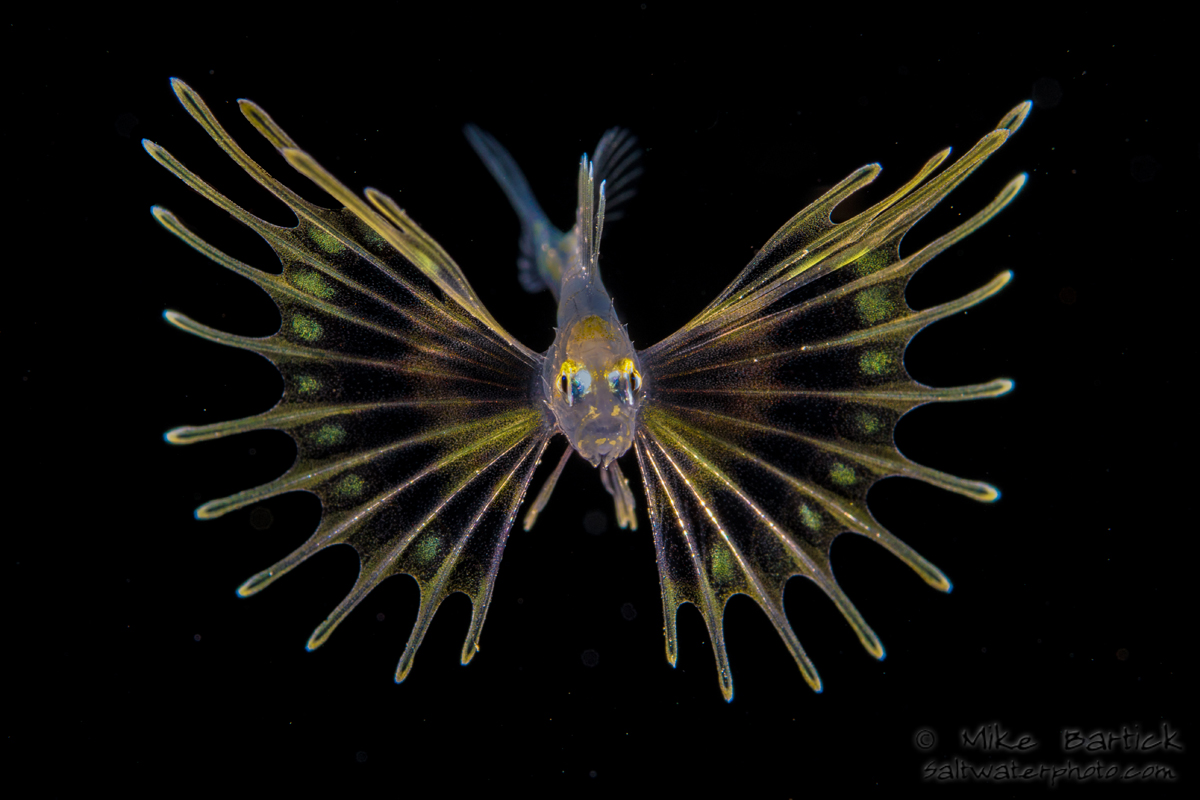 A LARVAL LIONFISH