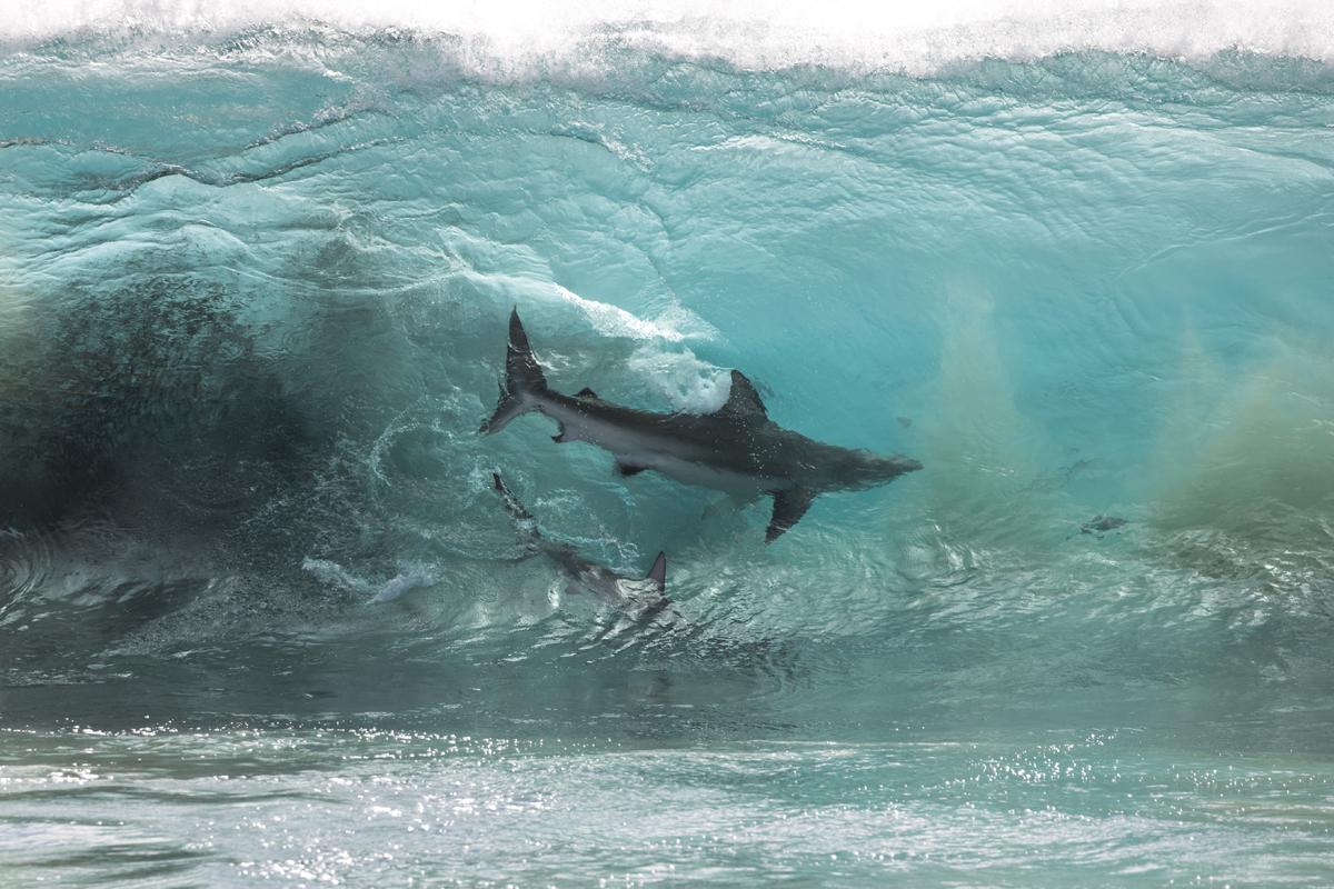 SHARK BEAUTY