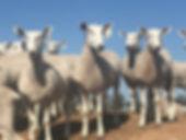 Tagged sheep.jpg