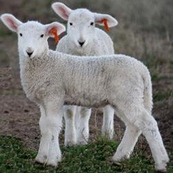 lambs 1.jpg