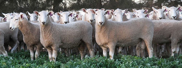Sheep Landscape.jpg