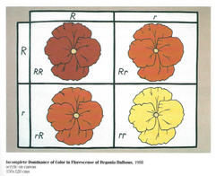 Incomplete Dominance of Color in Florescense of Begonia Bulbous, 1988