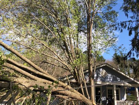 Bradford Pear Tree Damage