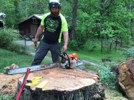 Andrew reading the stump after felling a declining maple.