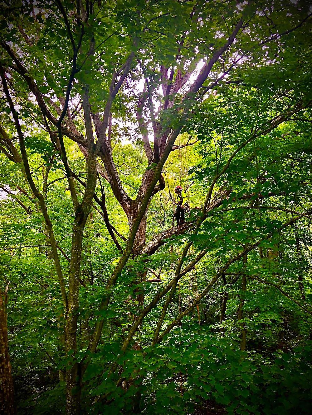 tree pruning in Waynesville