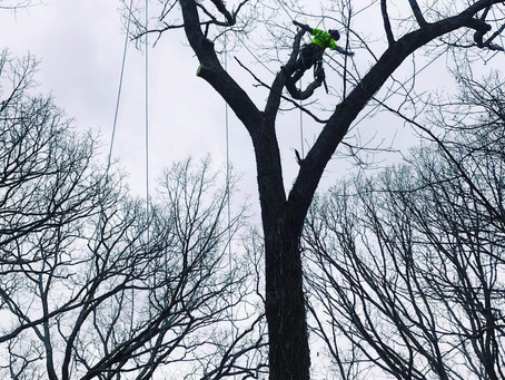 Technical oak removal in Ablemarle Park.