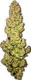 Medical-cannabis-bud-vlarge.jpg