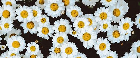 Daisies_edited.jpg