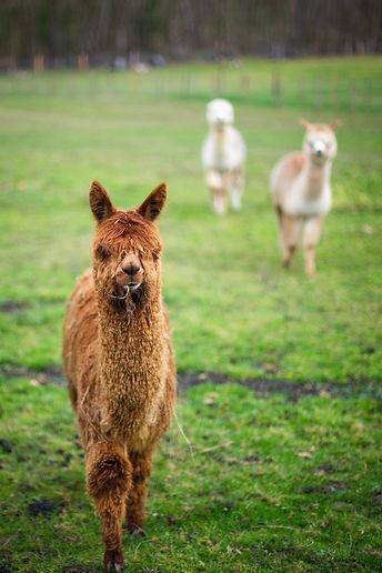 Nino SG | | Ferme d'élevage d'Alpagas Le Clos Tranquille | Sarthe - France