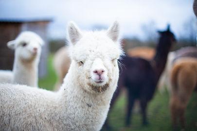 Pacha SG | Ferme d'élevage d'Alpagas Le Clos Tranquille | Sarthe - France
