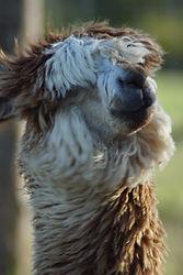 Yuma | Ferme d'élevage d'Alpagas Le Clos Tranquille | Sarthe - France