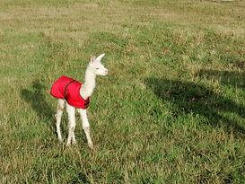 Cria bébé alpaga | Ferme d'élevage d'Alpagas Le Clos Tranquille | Sarthe - France
