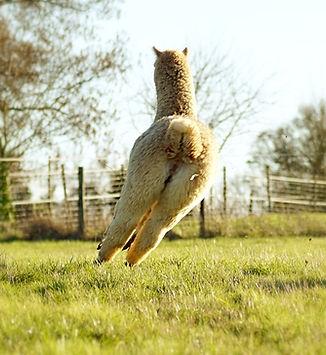 Alpaga  | Ferme d'élevage d'Alpagas | Sarthe - France