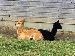 Alpagas | Ferme d'élevage d'Alpagas Le Clos Tranquille | Sarthe - France