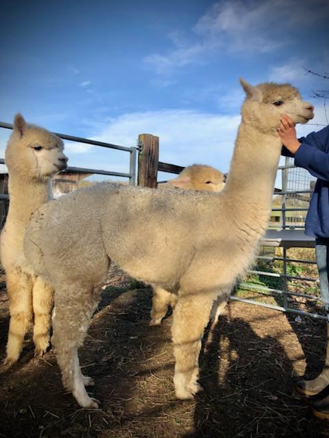 Alpaga mâle huacaya | Le Clos Tranquille | France