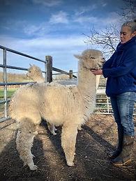 Alpaga | Ferme d'élevage d'Alpagas Le Clos Tranquille | Sarthe - France