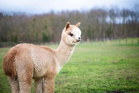 Nayati SG | Ferme d'élevage d'Alpagas Le Clos Tranquille | Sarthe - France