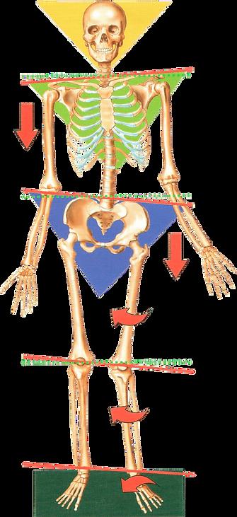 скелет.png