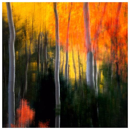 Tim Stephens    'Sunlight on Aspens'