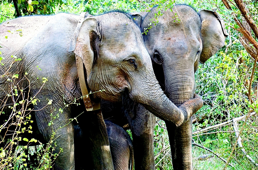 Elephants in the Yala National Park