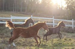 Ceylan, Paciano och Zeleah as foals