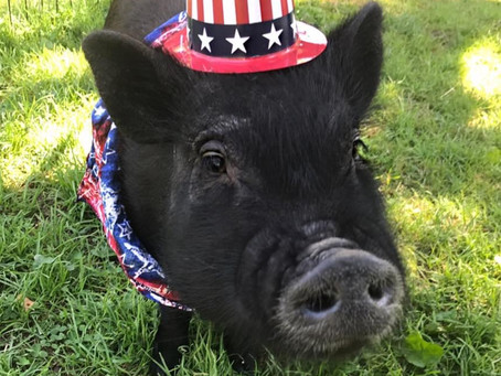 That time we neutered a pot-bellied pig….
