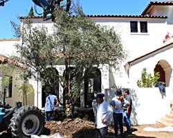 Big Olive Trees - West Hollywood5_edited.JPG