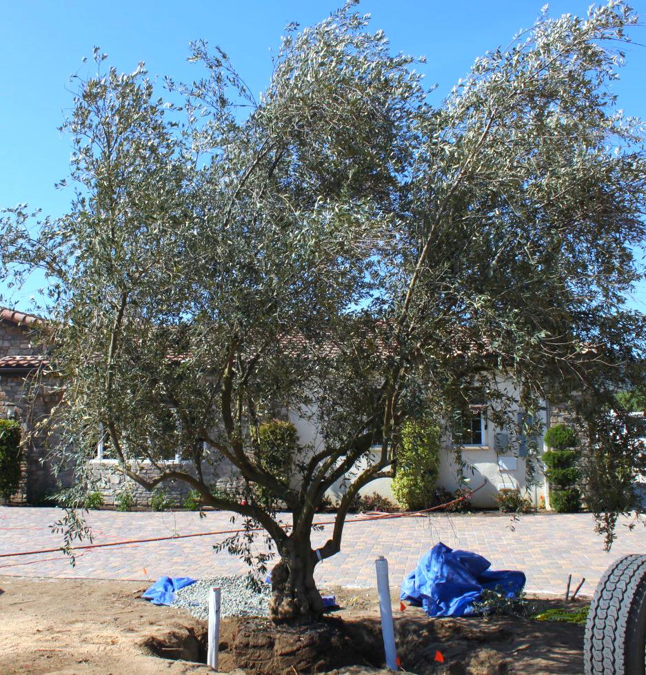 Big Olive Tree -SMALL -