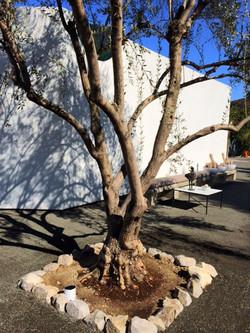 Big Olive Trees - LA -