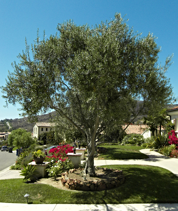 Big Olive Trees - Extra Large - San Diego