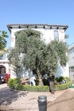 Big Olive Tree - Encino - $2,950 - 2.JPG