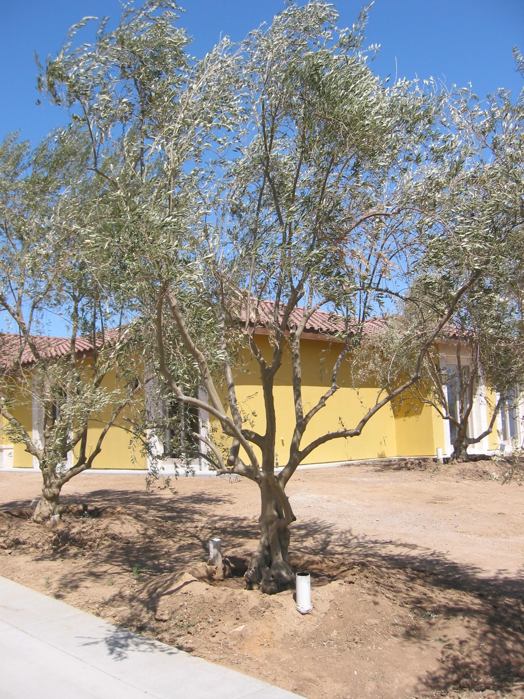 Big Olive Trees - Small