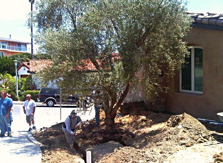 Big Olive Trees- Medium - San Juan Capistrano_edited.jpg