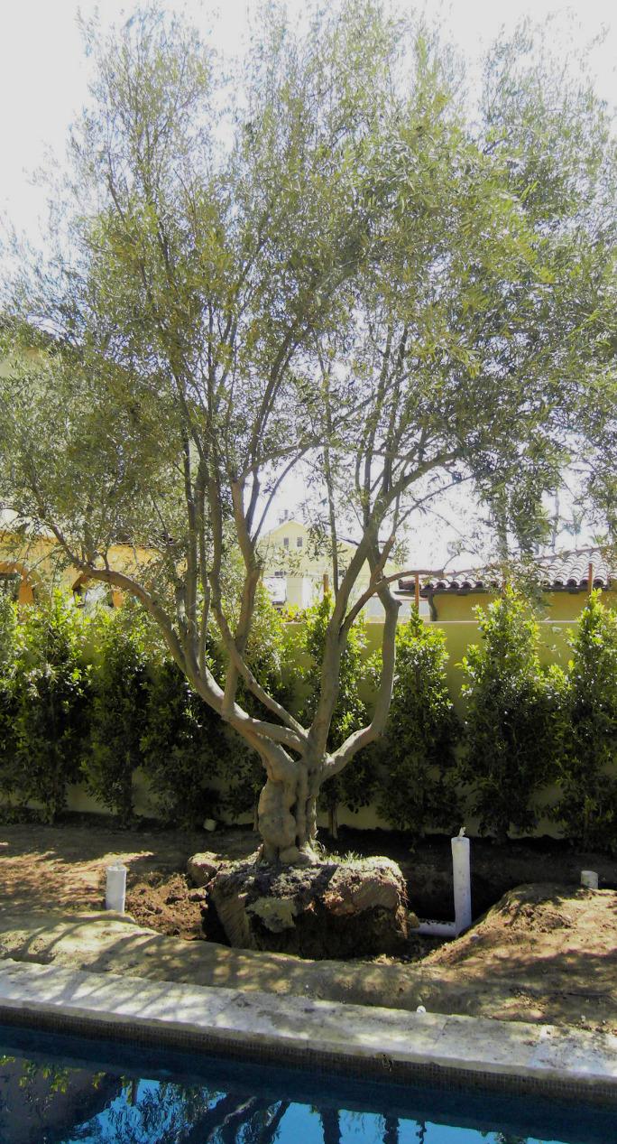 Big Olive Trees - Santa Monica 1